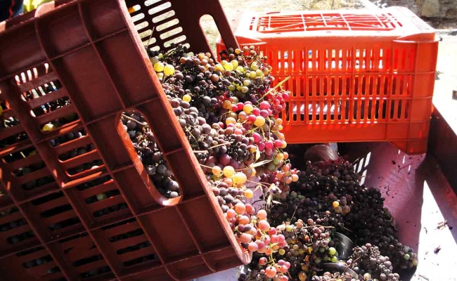 Grapes_collection_for_wine_Ikaria