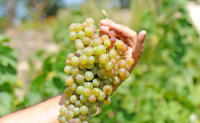 Grapes_Ikaria